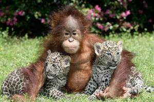 orangutangchetas