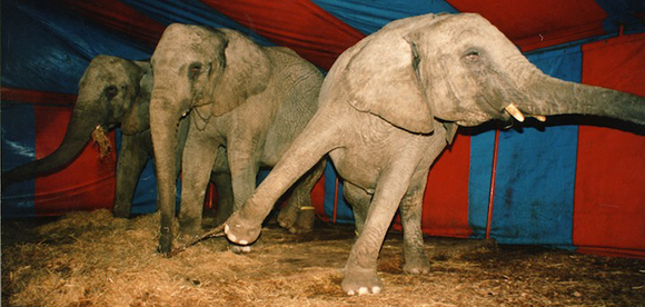 circus-elephants-under-tent-banner