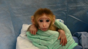 baby monkey wrapped in blanket PETA